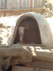 Goat at catsit